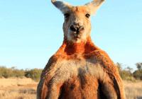 袋鼠太多,澳大利亚人正在考虑把它们吃掉