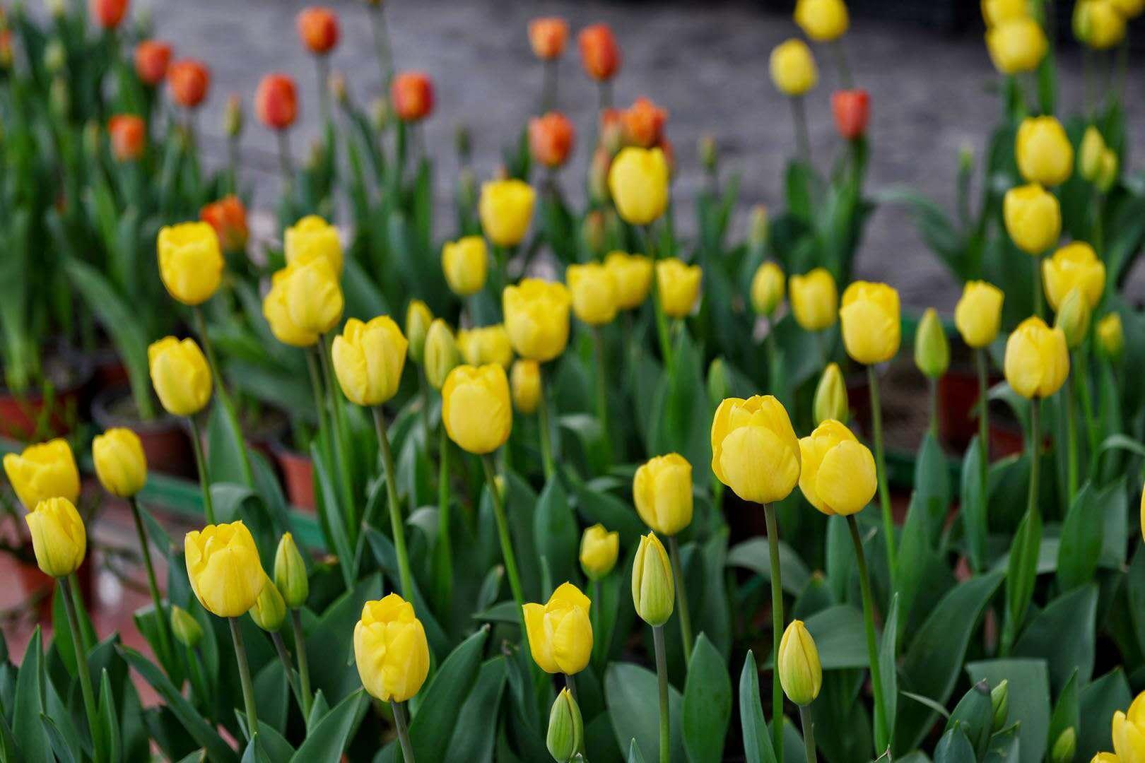 沙坪坝凤凰花海郁金香开了  本周末去植树赏花吧