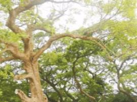 南津村6棵百年古树承载几多乡愁