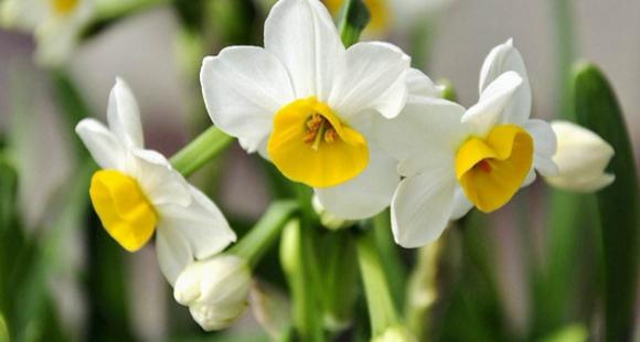 新研究:水仙花的天然提取物具有抗癌性