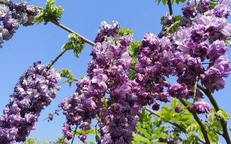 世界闻名的日本福冈紫藤花可以带回家了