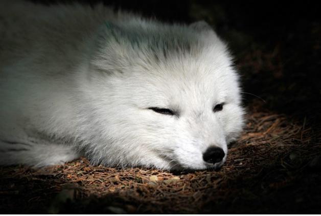 变暖冰雪消逝 伪装的白色动物却还没发现变天了