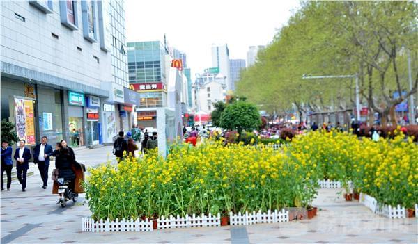 街头5000棵油菜花开 田园风光尽收眼底