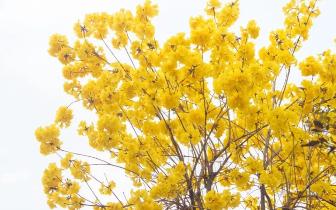 广州旁边的 黄色树海 刷屏了,随便一张都美到颤抖