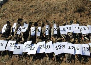 内蒙古259只候鸟死亡 人为偷猎投药所致
