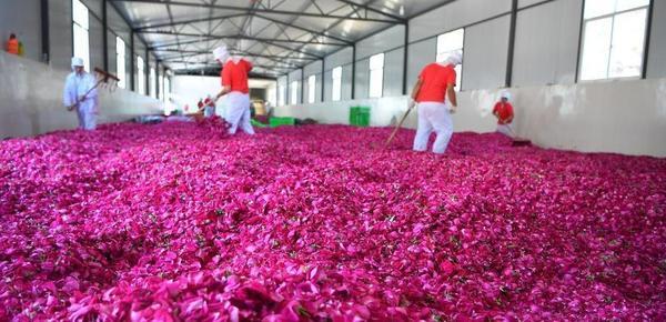 甜蜜芬芳!云南万亩食用玫瑰进入盛花期