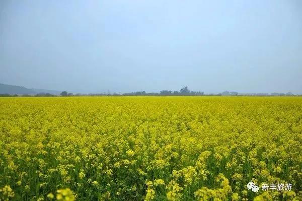 千亩油菜花陆续绽放,韶关这县城已成为花的海洋!