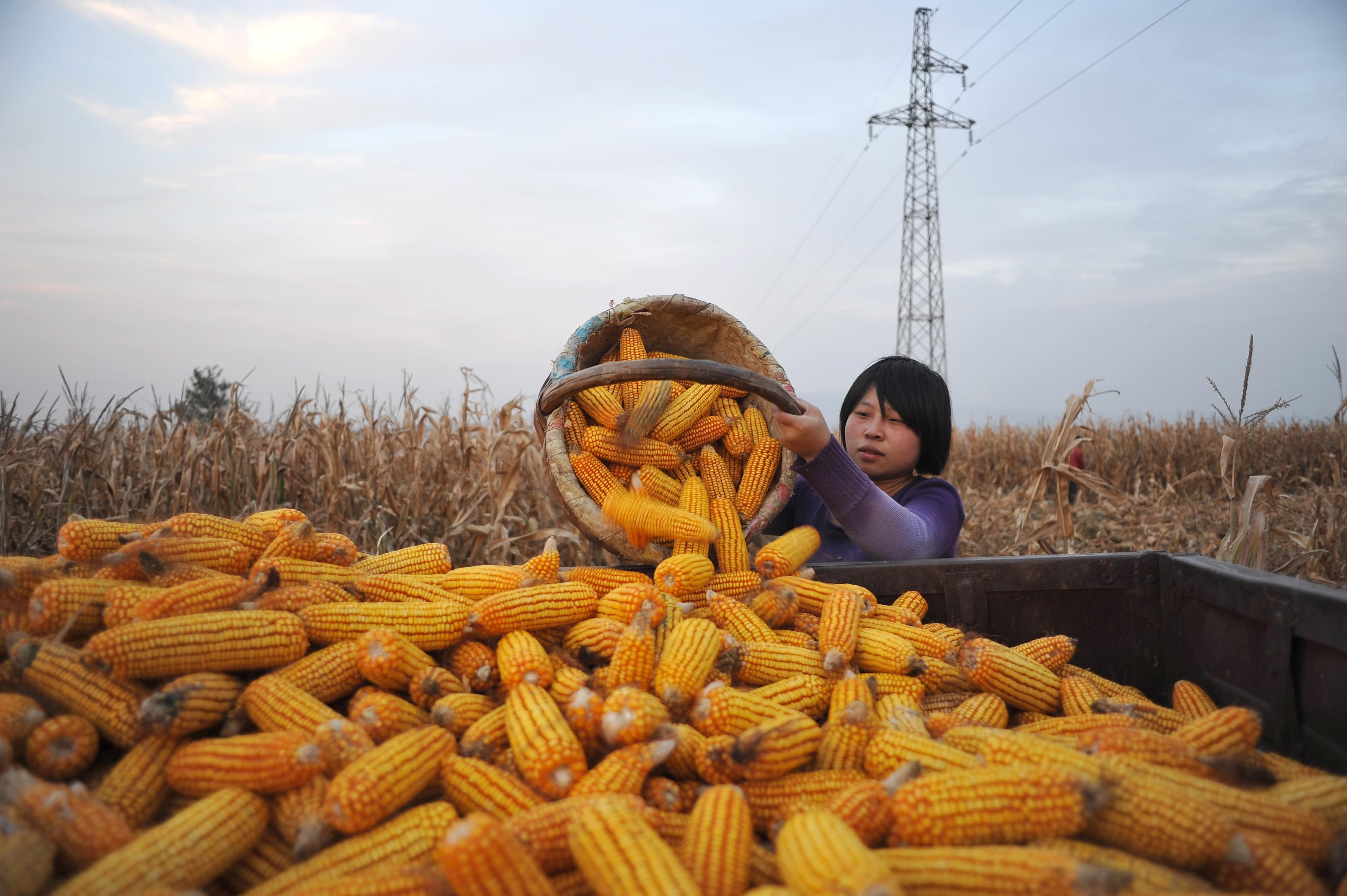 2013年10月1日,山西平陆,一名女孩将收获的玉米装车。 /视觉中国