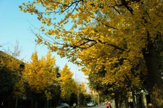 """""""赏黄""""好去处!荆州区高阳路栽种400棵银杏月底完工"""