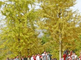 万人相约小江赏银杏 阳山全域旅游创建遍地开花