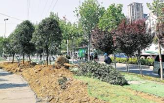 郑州这个地方近千棵树 该不该移走引争议
