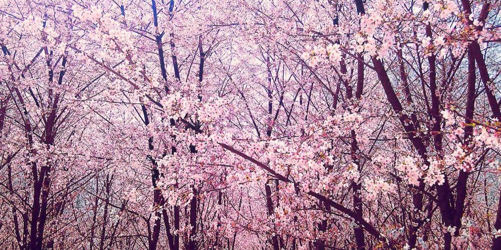 原来贵州还私藏着70万株樱花 惊艳全国!