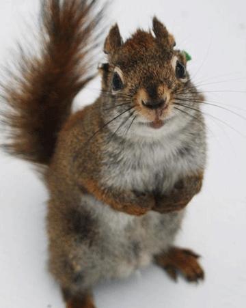 红松鼠为何杀婴藏尸、吃同类?