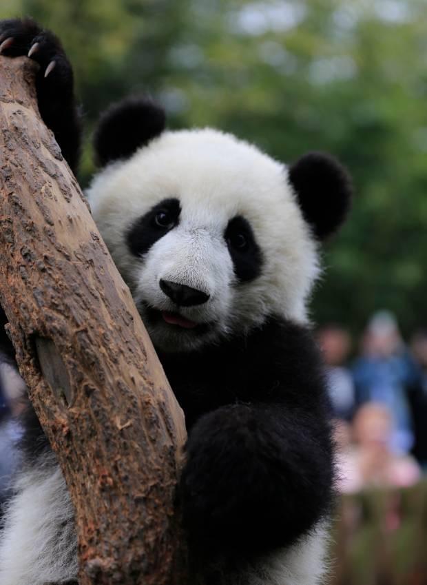 成都马拉松认养的熊猫兄妹叫啥?你来决定!