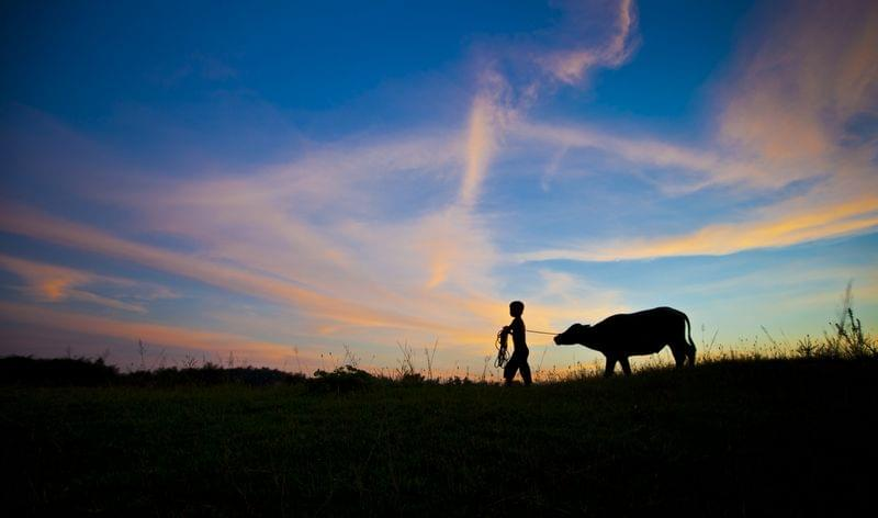 表姐和她的牛