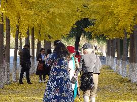 视频:河大银杏树上演真实版黄金满地