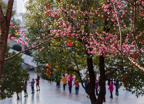 黔江:红梅花开春意浓