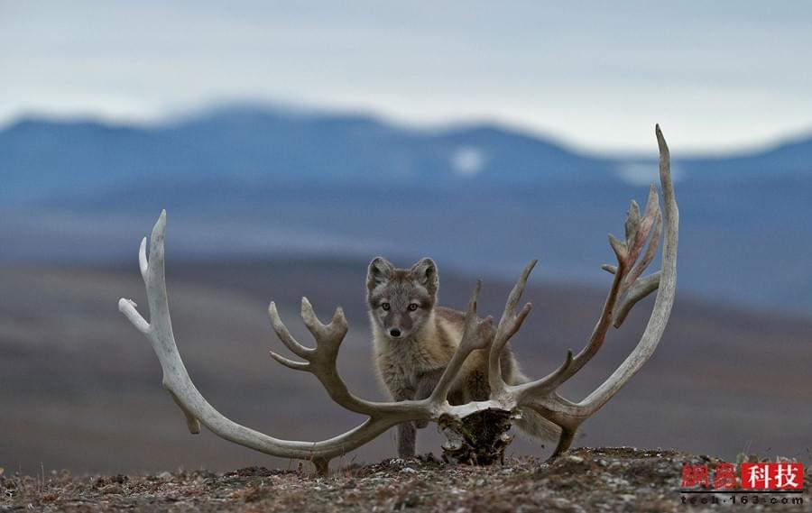 北极圈内动物生活:北极熊聚众吃腐肉充饥