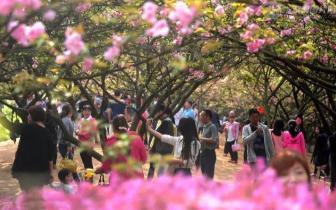 【周末去哪】2018年湖南省樱花观赏指南!美到心碎