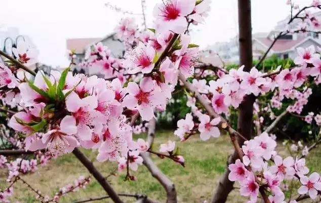 重庆万州这个小镇春意十足  品食赏花两不误