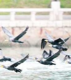 上千鸬鹚恋上筼筜湖 每日清晨聚集觅食