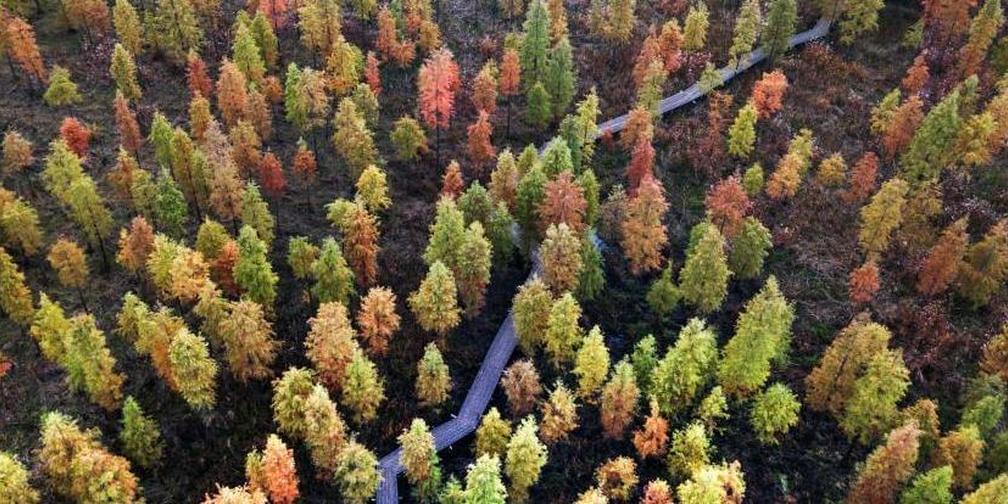 秋去冬来,南京郊外千亩杉树依然展现绝美画卷