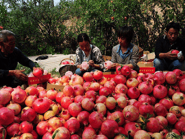 山西农产品再迈国际舞台  运城石榴首次出口加拿大