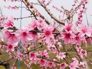 只在春天绽放的绝美花海,不去就得等明年了