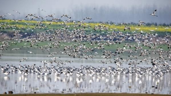 冬去春来气温回升 数万候鸟集结北迁