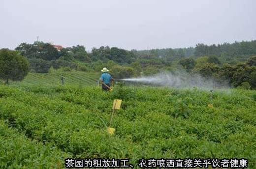 蛹虫草茶:功能茶饮新时尚