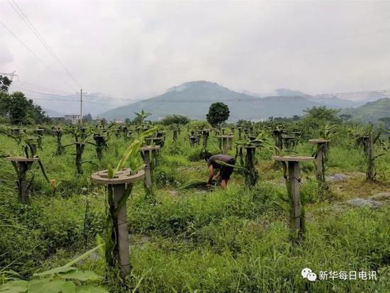 贵州扶贫火龙果过剩:15元跌到2元 果农倾倒染红水池