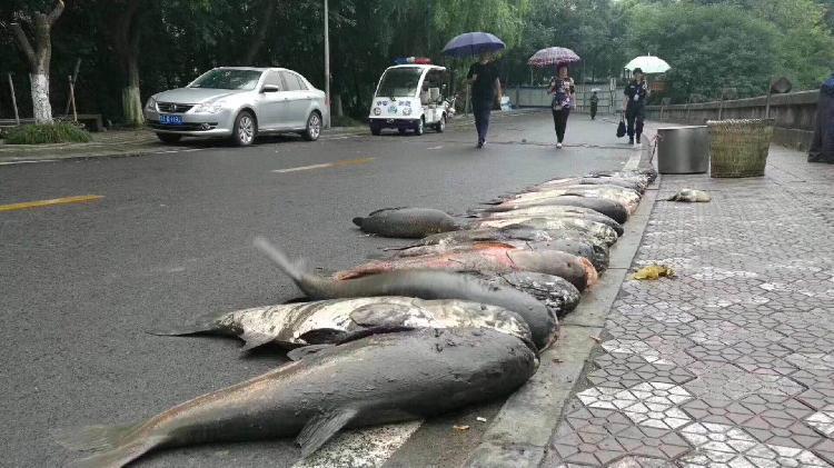 这个大学捞起多条巨型鱼 要请全校3万人吃一顿