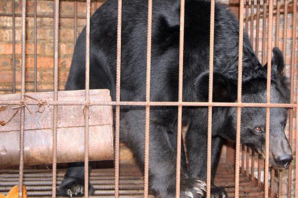 西雙版納一老人求助警方:我家有一頭黑熊 養不起了