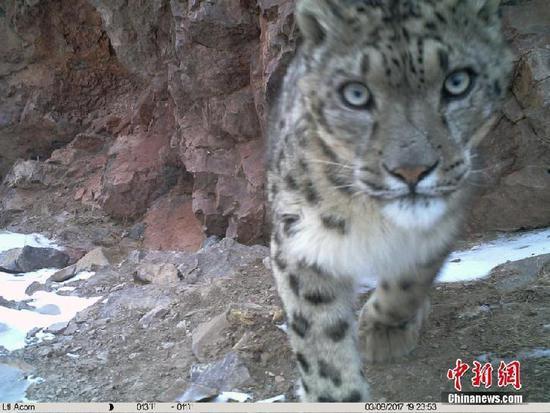 中新网消息,9月27日,青海省玉树藏族自治州杂多县政府和山水自然保护中心发布一批在澜沧江源头生物多样性监测中,由红外相机所捕捉到的雪豹、水鹿、赤狐、兔狲等多种野生动物照片。图为水鹿。 山水自然保护中心提供