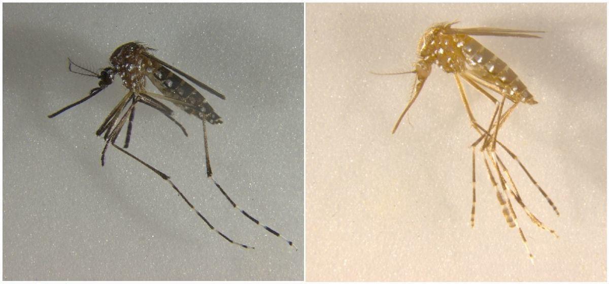 基因编辑造出黄色三眼无翅蚊,可用来灭绝同类
