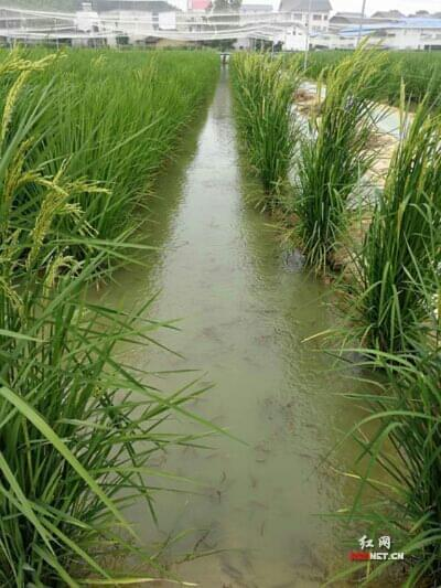 亩产2000余斤 超级水稻或将给农民带来新的春天