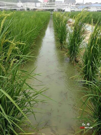 """造的""""巨型稻―青蛙―泥鳅共生""""稻田生态种养基地.-身高 2.2米亩"""