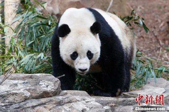 """旅美大熊猫""""宝宝舫袒毓� 饲养员不舍流下眼泪"""