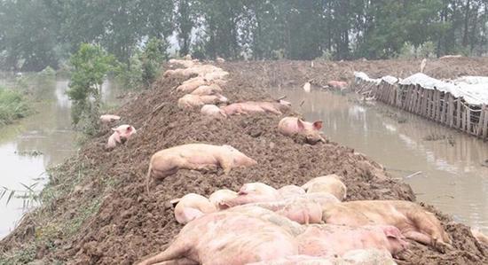 老人目睹养猪场被冲垮痛哭:部分猪被人捞走不归还
