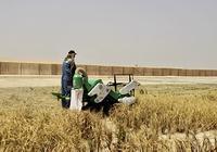袁隆平团队迪拜沙漠种海水稻成功 将推广中东北