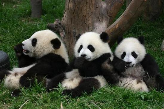 3只大熊猫打群架45分钟:冲冠一怒为红颜