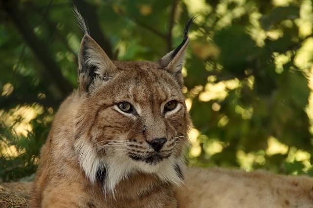 图片来源:Cool Kid Facts 山猫不但长得英俊、颜值颇高,还能驱逐偷吃葡萄、破坏葡萄藤的小动物,像是鬼头鬼脑、神出鬼没的长耳野兔和囊地鼠等。真正是明明可以靠脸吃饭,偏要靠才华。   大反派:   1. 狐狸