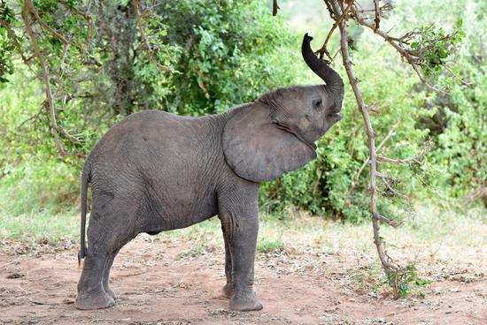 肯尼亚桑布鲁野生动物保护区拍摄的非洲象的资料照片
