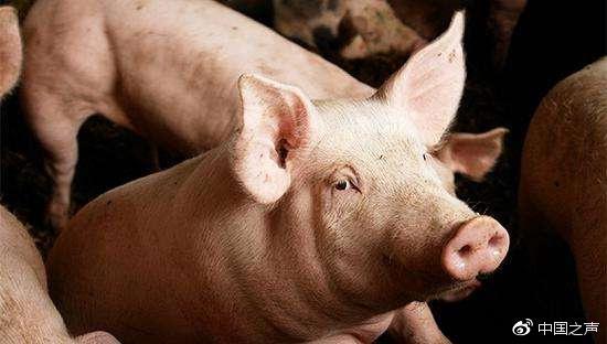 本月发三起猪瘟疫情 农业农村部:正调查是否有联系