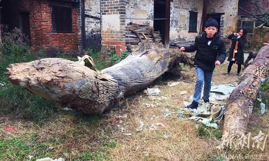 衡阳一村民挖出两棵楠木树坐等升值 有人出价5万不卖