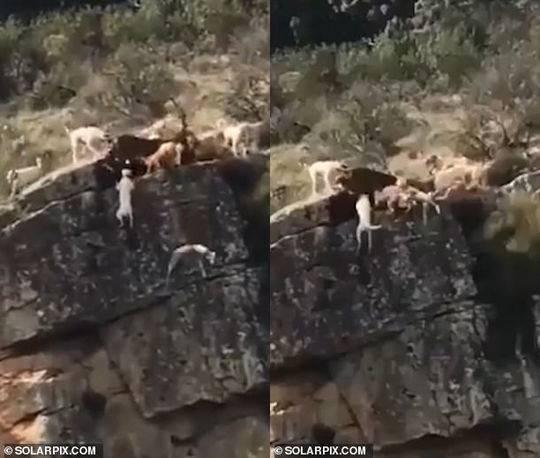 西班牙一群猎犬围攻一只鹿_12只猎犬和鹿摔下悬崖