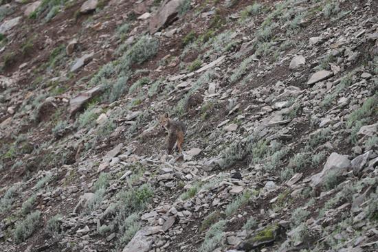 科考队称发现新物种:喜马拉雅南麓拍到亚洲胡狼