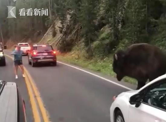 作死!男子黄石公园内疯狂挑衅1吨重野牛 已被逮捕