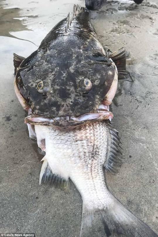 """""""贪吃""""大鱼眼宽肚窄 整只吞食小鱼结果被噎死"""