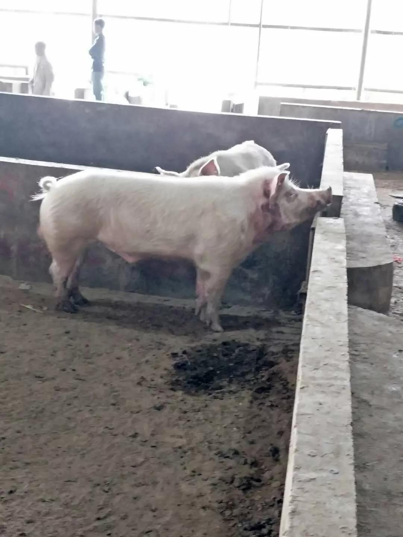 """男子被""""巨型""""公猪咬死 咬人公猪500余斤体长1米7"""